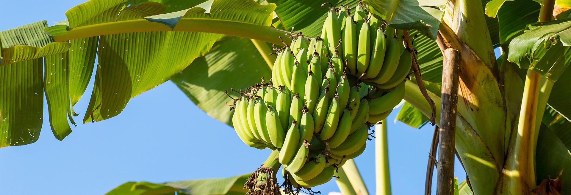 Arbre banana