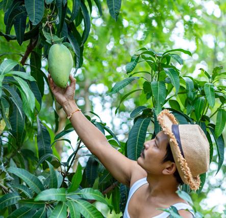 Agriculteur de mangue