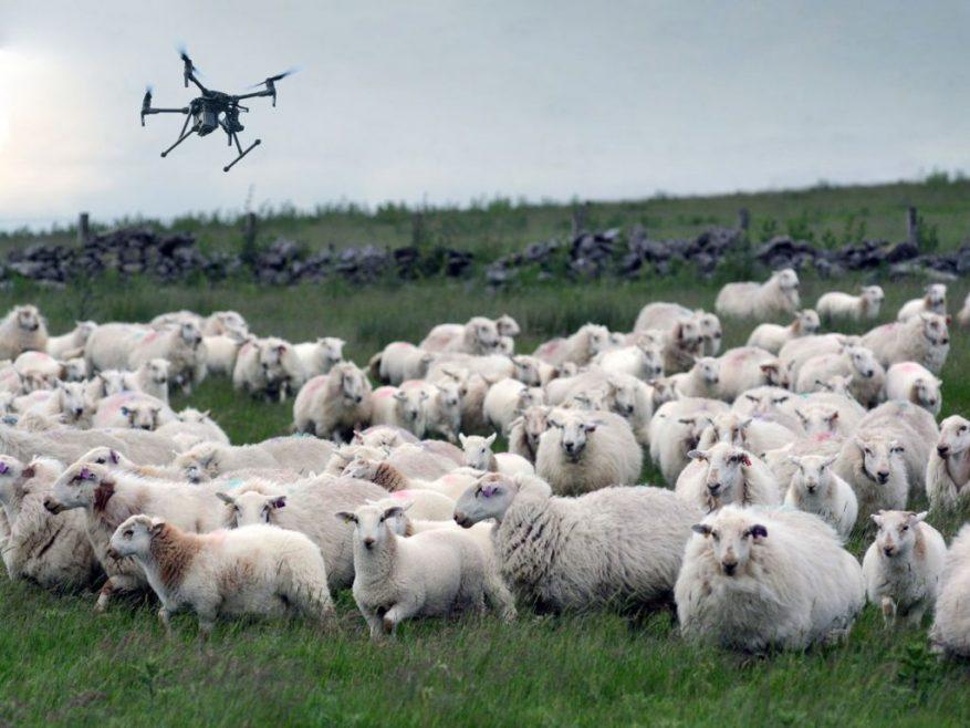 Sheep drone 1024x768